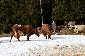 istock Cows in the snow. Ayrshire cow is digging and throwing up snow 1128272014