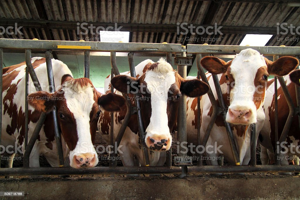 Cows in the stable stock photo