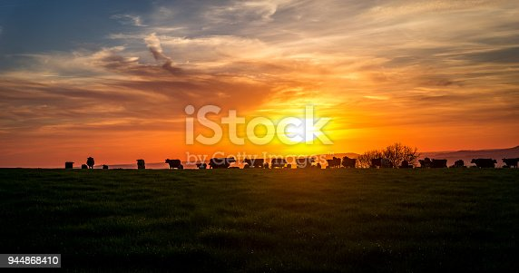 sunsetting over the hills of dorset, UK while the cows graze after there evening milking. UK summer time