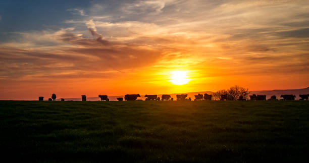 Cows in the Sunset light sunsetting over the hills of dorset, UK while the cows graze after there evening milking. UK summer time livestock stock pictures, royalty-free photos & images