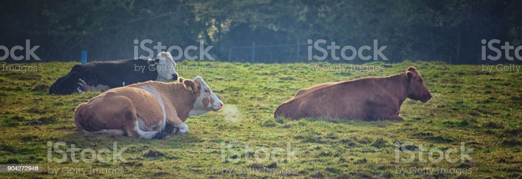Cows in winter stock photo