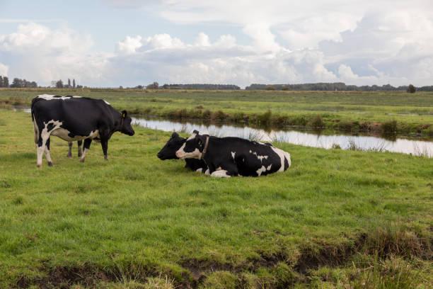 Cows in Zaanse Schans – zdjęcie