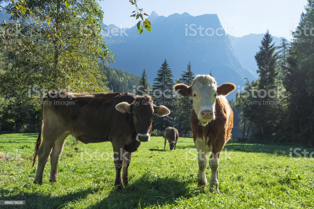 Cows. Landscape protection area Achstürze. Cattle and alps in the background. Tirol oldest nature preserves. Oetz alps, Lake Piburger See, unique cultural mountains landscape. Ötztal valley. stock photo