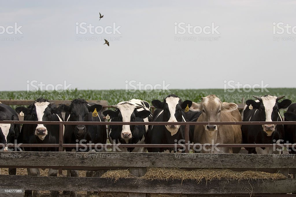 Cows Lined Up to Feed royalty-free stock photo