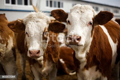 Cow, Domestic Cattle, Cattle, Ranch, Beef Cattle