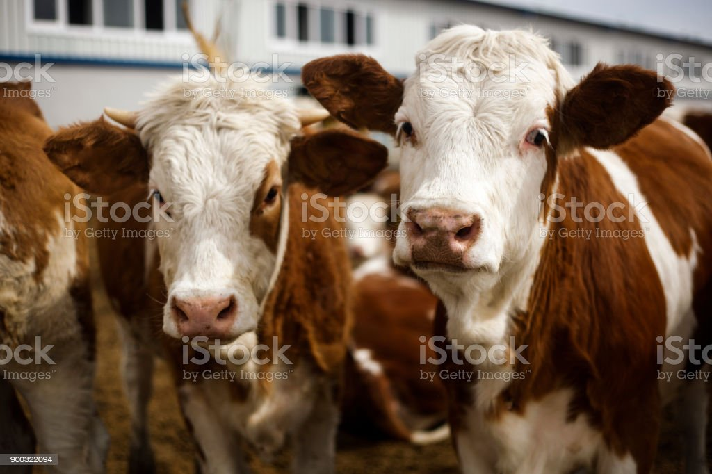 Cows Looking stock photo