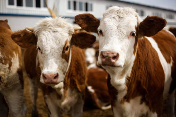 Cows Looking Cow, Domestic Cattle, Cattle, Ranch, Beef Cattle cattle stock pictures, royalty-free photos & images