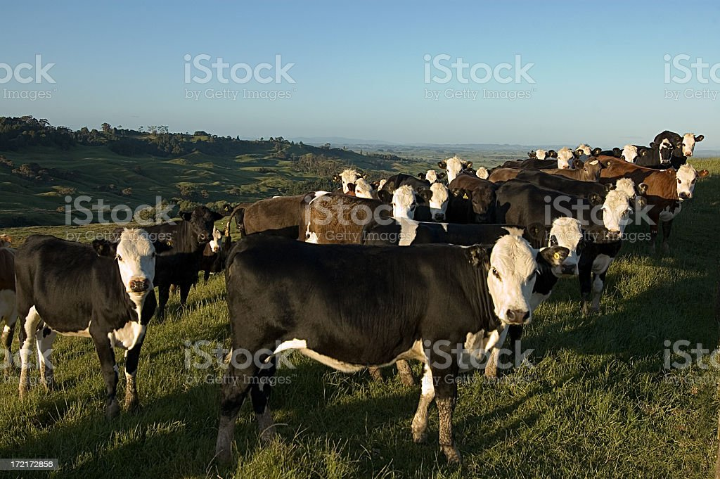 Cows Looking to the Camera royalty-free stock photo
