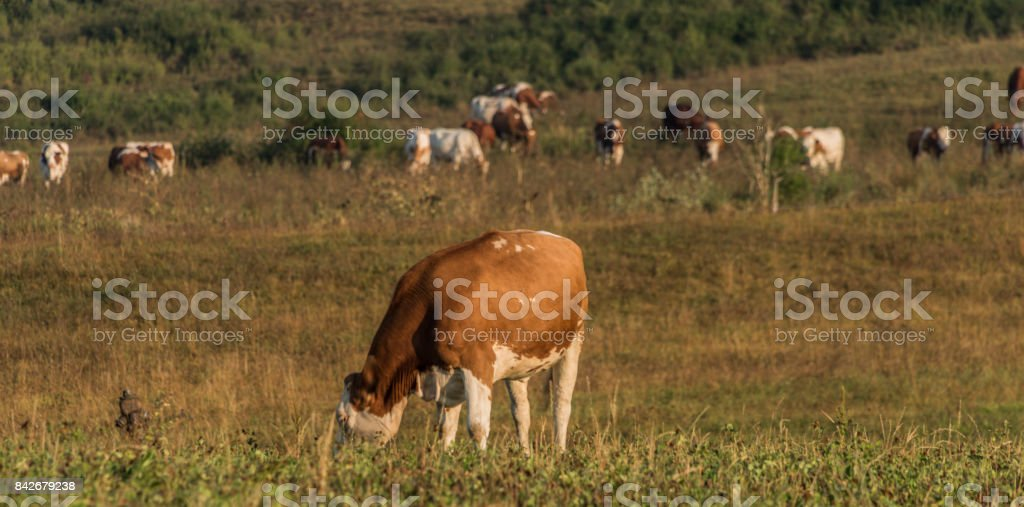 Cows near Likavka village in summer morning stock photo