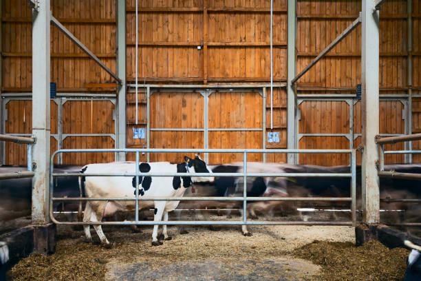 Cows on a dairy farm. stock photo