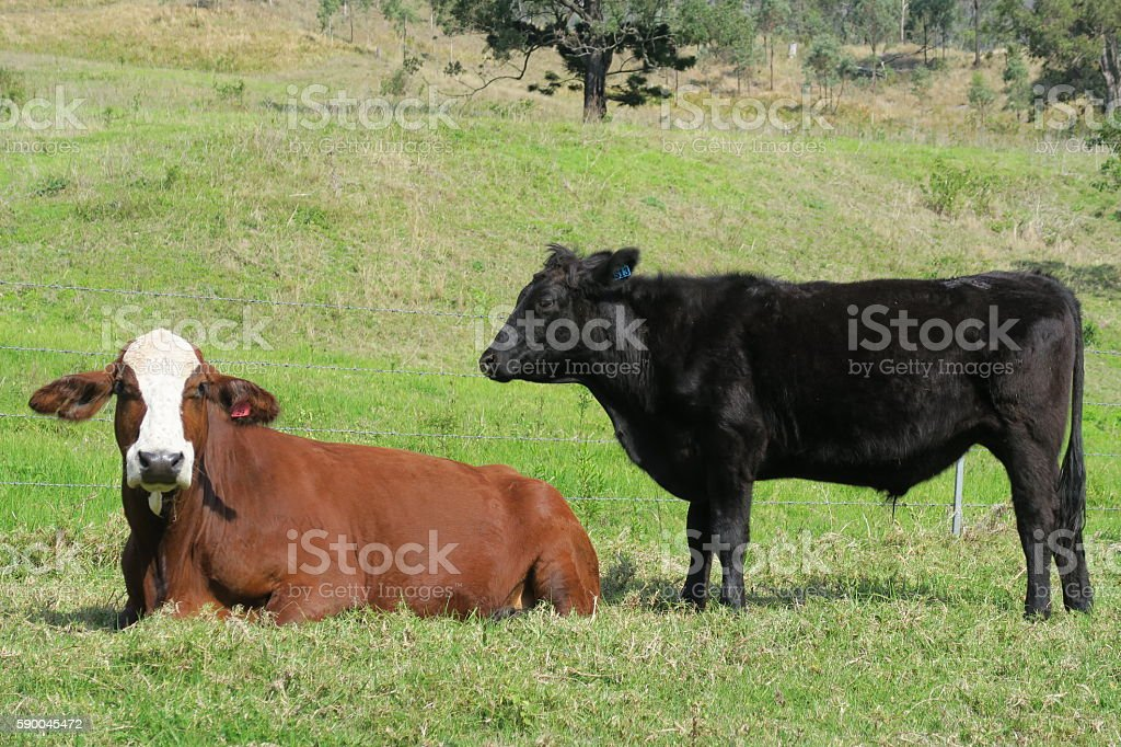 Cows on a Field stock photo