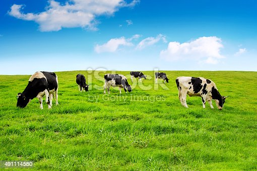 istock Cows on a green field. 491114580