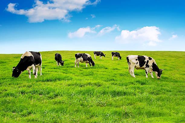 Cows on a green field picture id491114580?b=1&k=6&m=491114580&s=612x612&w=0&h=mejvzfn1zptq2dd4r niiwzmxtngawbmihmuyysc wq=