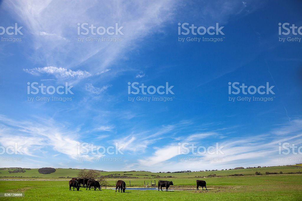 Cows on a green field stock photo