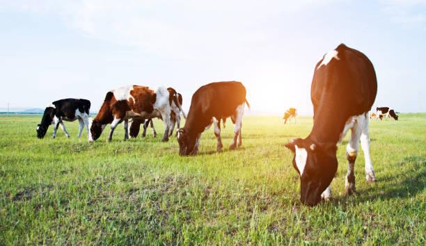 Vaches dans un champ vert - Photo