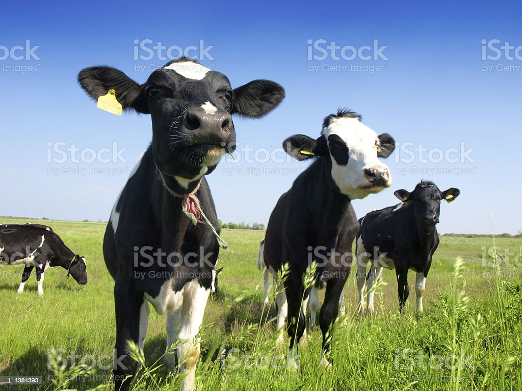 cows on a green meadow royalty-free stock photo