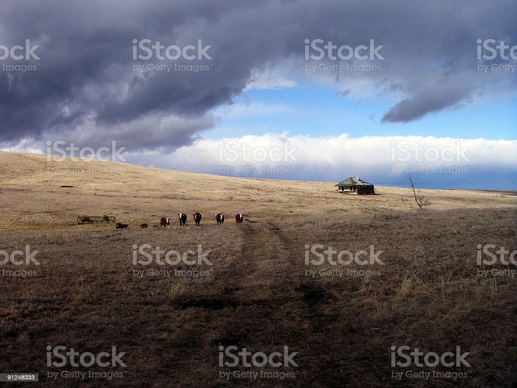 Cows on a Hillside royalty-free stock photo