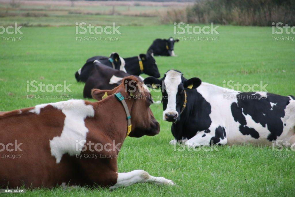 koeien op de weide boerderij in Oldebroek, Gelderland in Nederland foto