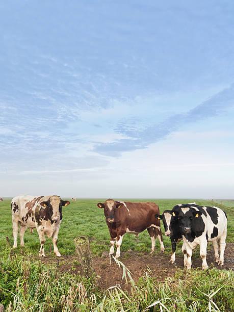 Kühe auf einer Wiese – Foto