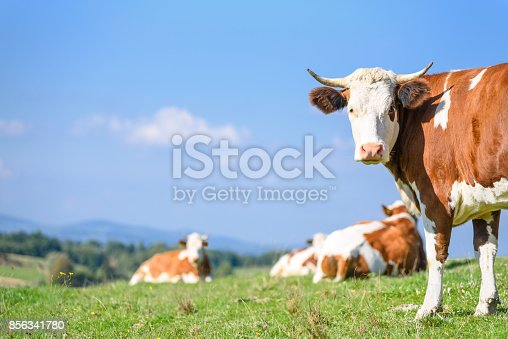 istock Cows on a mountains pasture 856341780