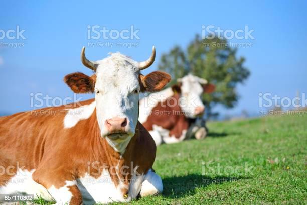 Kühe Auf Einer Weide Berge Stockfoto und mehr Bilder von Agrarbetrieb