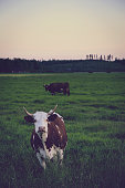 istock Cows on a pasture at sunset, Finland 804056406
