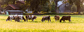 Cows on a pasture, Germany, Europe