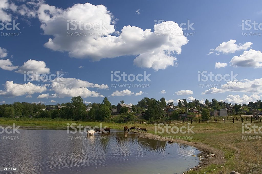 Cows on a watering place royalty-free stock photo