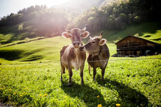Cows on alp Cows on alp domestic cattle stock pictures, royalty-free photos & images
