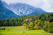 Cows on Alpine Meadows