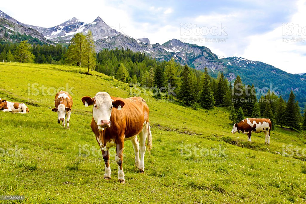 cows on an alpine meadow stock photo