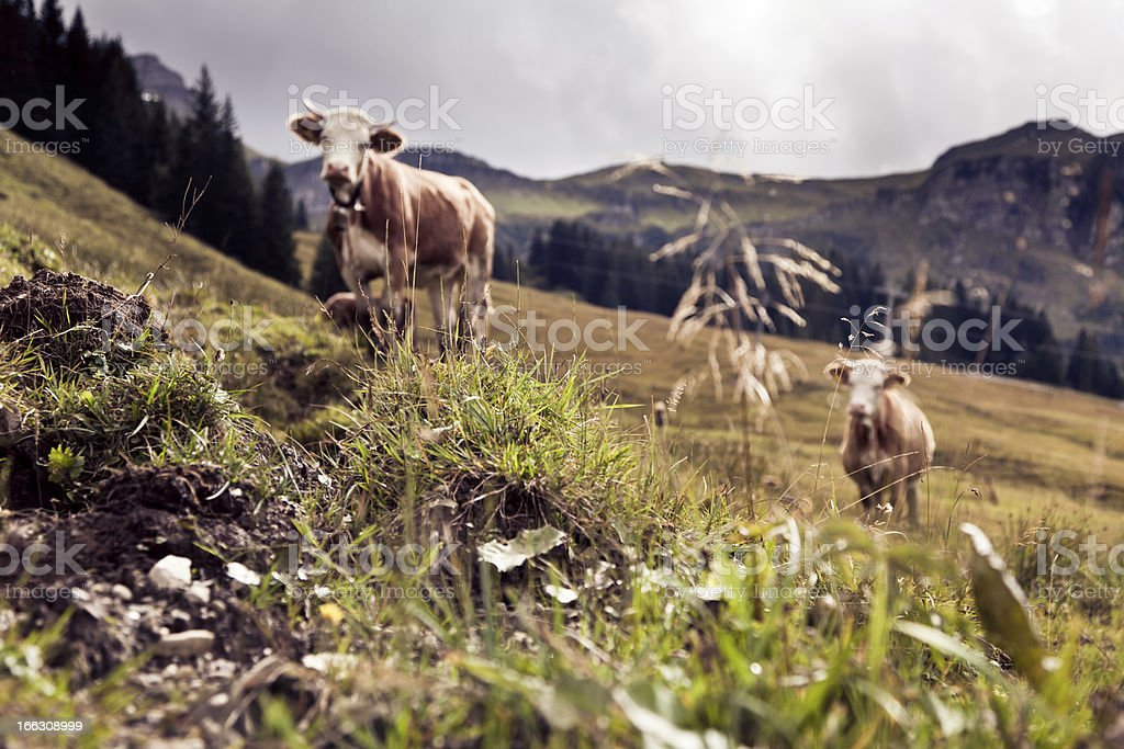 cows on an alpine pasture stock photo