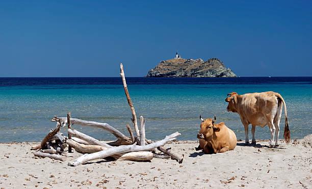 Vaches sur la plage de Corse - Photo