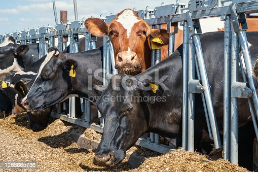 Cows on dairy farm. Breeding and feeding for milking cattle.