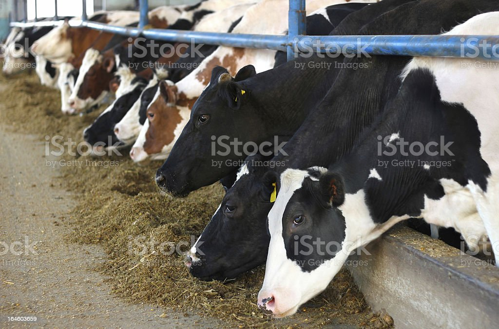 Cows on Farm royalty-free stock photo