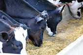 Feeding Time at Dairy Farm