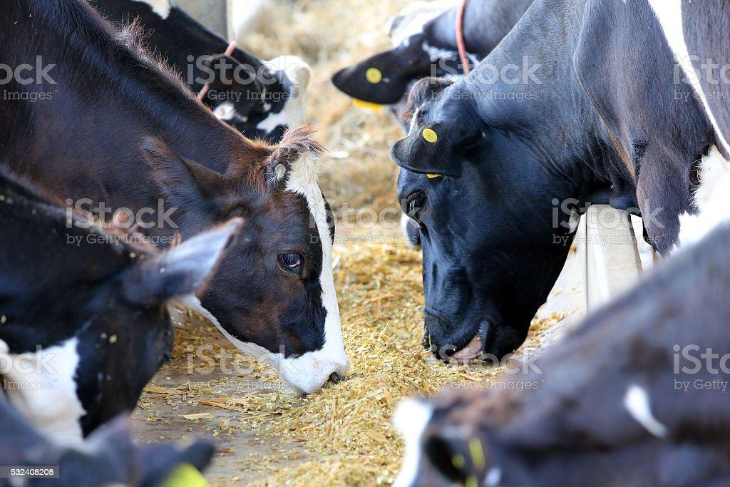 Cows on Farm stock photo