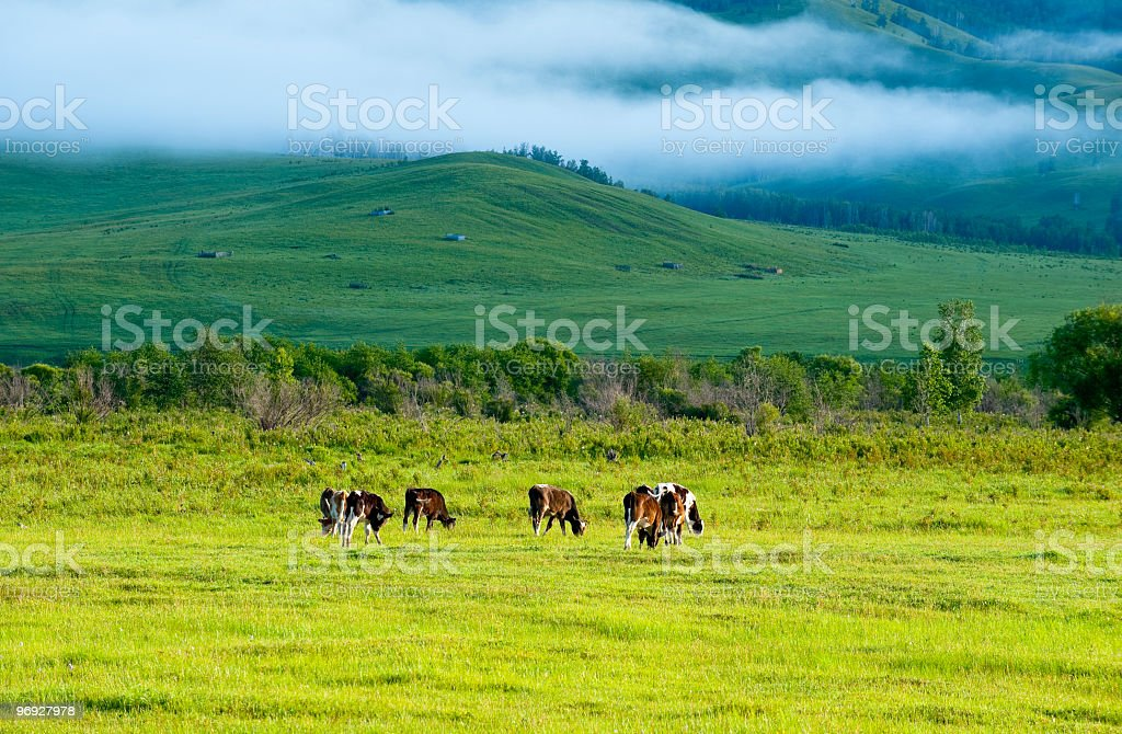 Cows on grassland in morning royalty-free stock photo