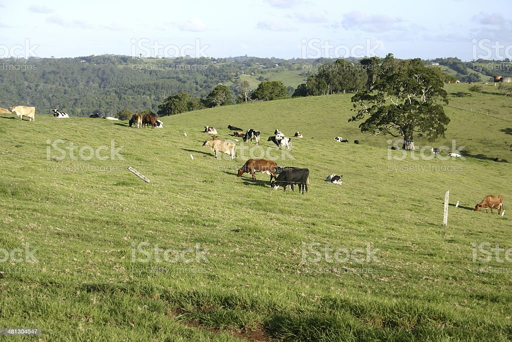 Cows on Green Hill of a Country Farm stock photo