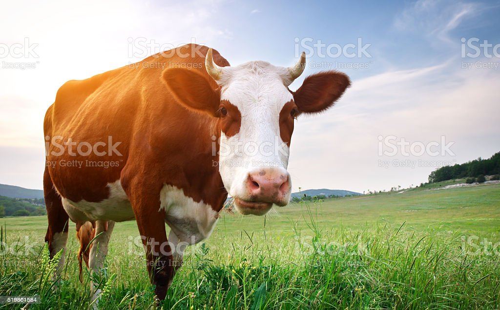Kühe auf der grünen Wiese. – Foto