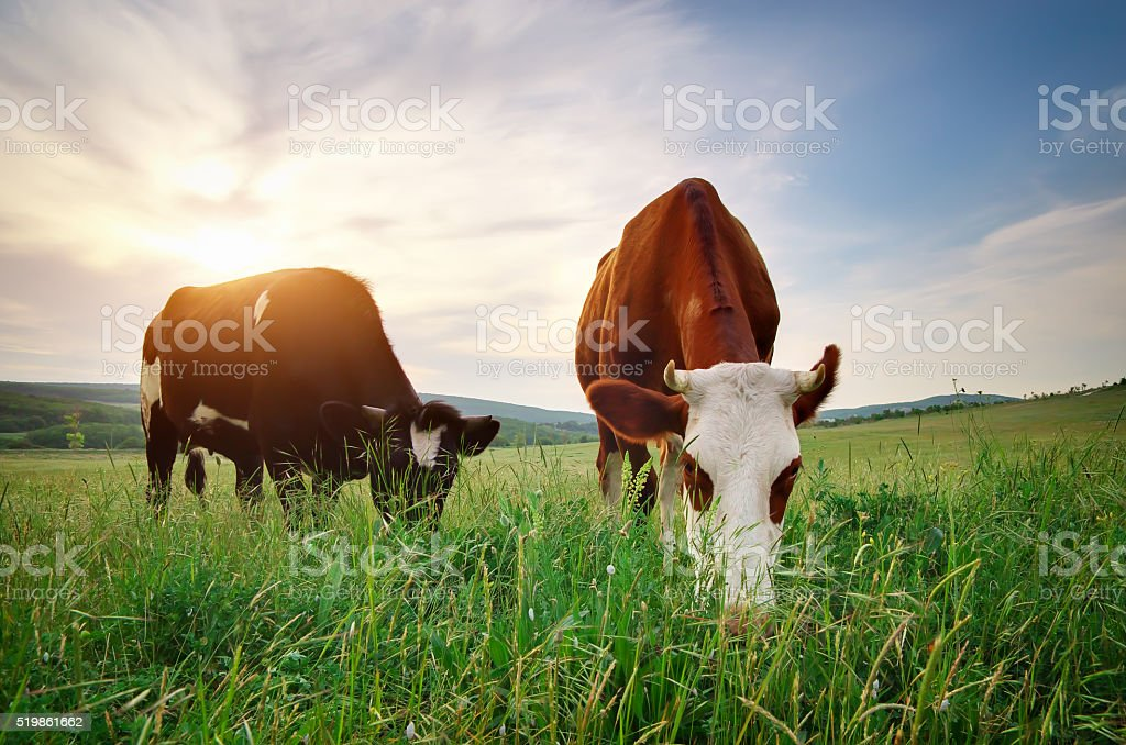 Cows on green meadow. stock photo