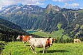 Cows on meadow of High tauern mountains of Austrian alps in Tirol. Gerlosplatte plateau.