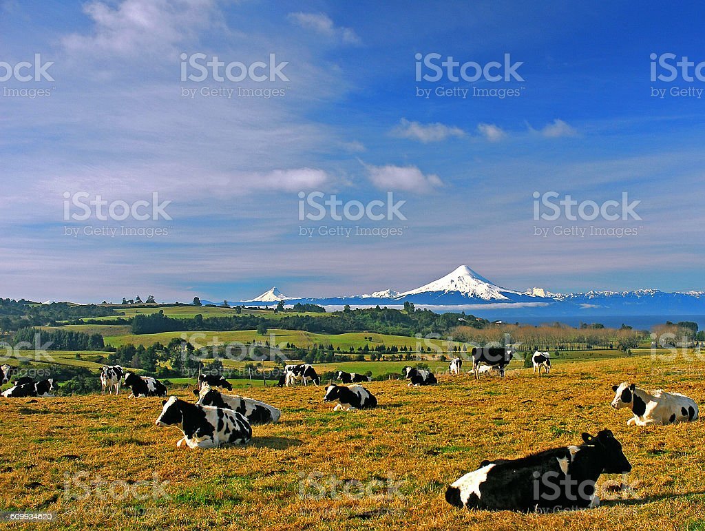 cows on meadow stock photo