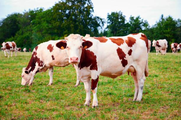 cows on meadow standing and eating grass - ser comte zdjęcia i obrazy z banku zdjęć