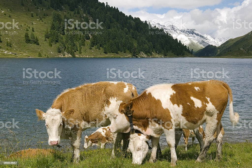 Cows on mountain lake pasture royalty-free stock photo