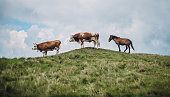 Cow, Bull and a Horse on mountain meadow