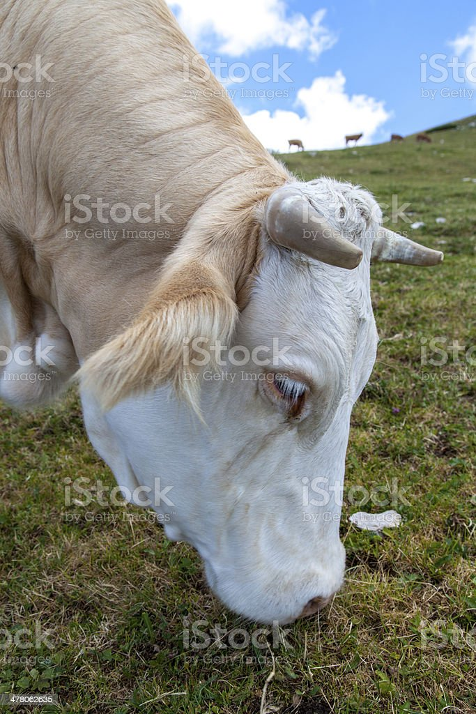 Cows on mountain pasture, high in the Alps royalty-free stock photo