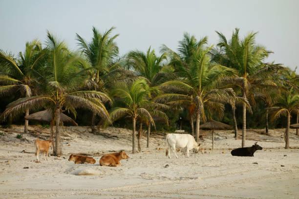 Cows on Paradise beach in Cap Skirring, Casamance, Senegal stock photo