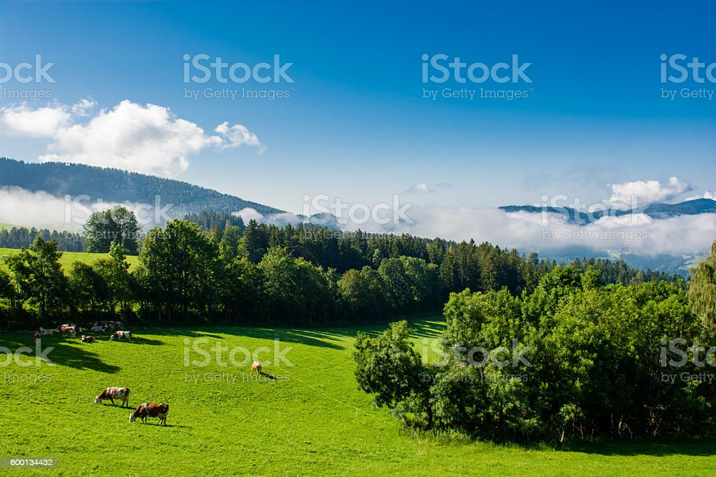 Cows on pasture in foggy valley stock photo