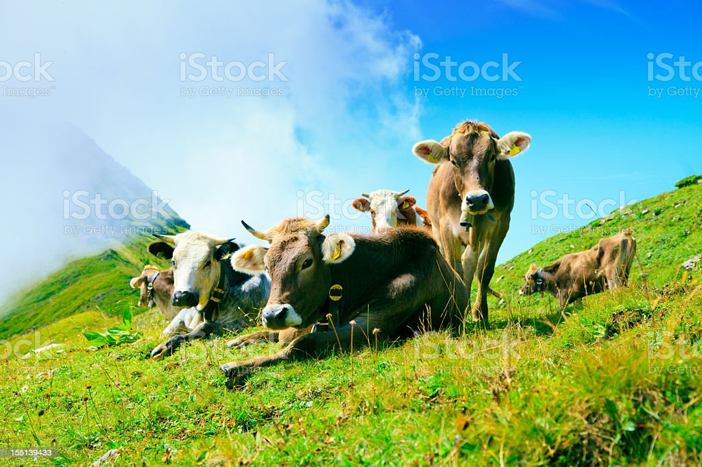cows on pasture in the austrian alps stock photo